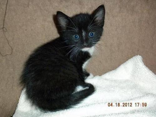 Tuxedo - Chip - Medium - Baby - Male - Cat