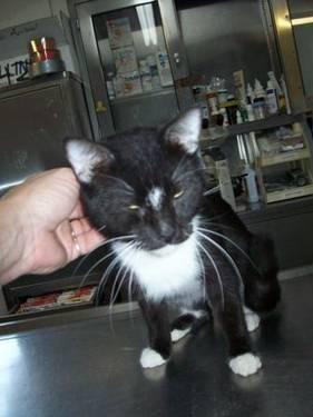 Tuxedo - Davy Jones - Medium - Senior - Male - Cat