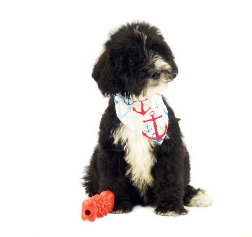 Tuxedo English Block Head Labradoodle pup / Low-non