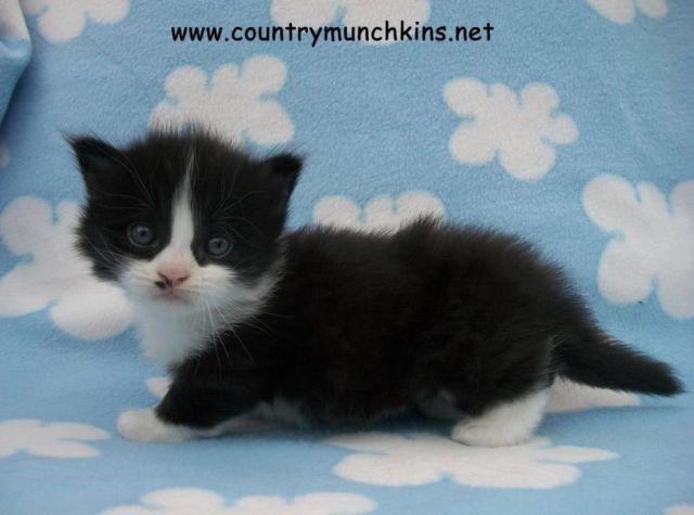 15 Tuxedo Cat Accounts You Need In Your Life Right MEOW ...  |Tuxedo Munchkin Cat Kittens