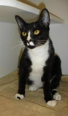 Tuxedo - Sly - Medium - Young - Male - Cat