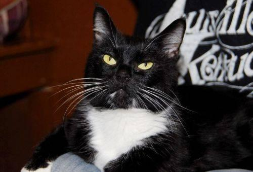 Tuxedo - Violet - Medium - Adult - Female - Cat