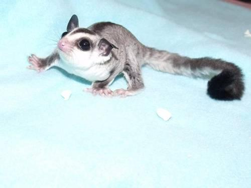 Twin White Face Blonde Sugar Glider Joeys - Females with ...