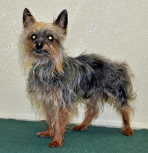Twix Yorkshire Terrier Yorkie Adult Adoption Rescue For Sale In