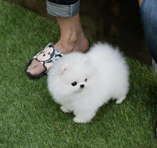 Two Adorable Akcckc Pomeranian Puppies For Sale In Atlanta Georgia