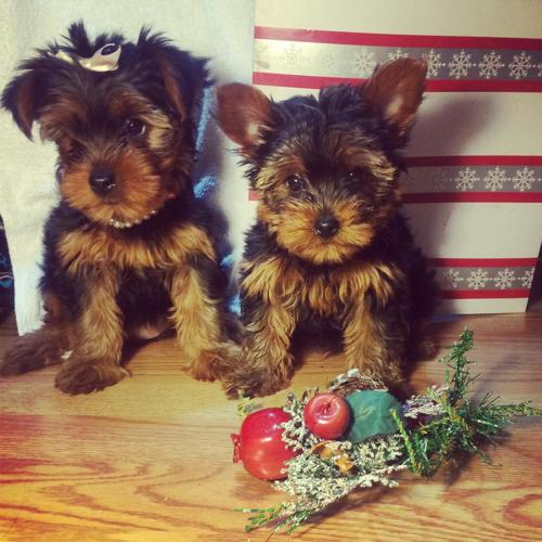 Two Adorable Akc Teacup Yorkie Puppies For Sale And For