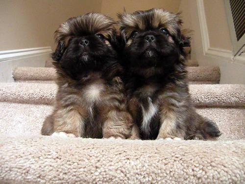 Craigslist Com Philadelphia >> Two Adorable Pekingese Puppies for Sale - 8 Weeks Old for Sale in Raleigh, North Carolina ...