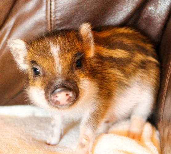 Two Baby Teacup Piglets For Sale