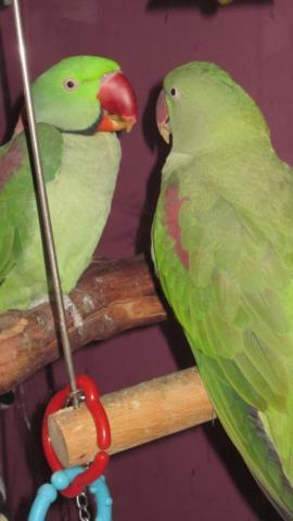 Two Beauitiful Alexandrine Parrots MALE AND FEMALE