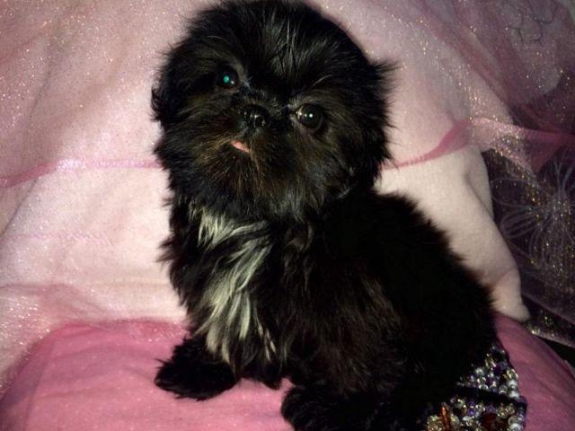 Two Beautiful Black Shih Tzu Puppies For Sale For Sale In Phoenix