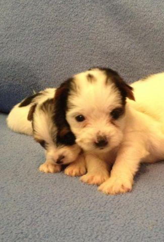 Two cute AKC registered Parti Yorkie male pups