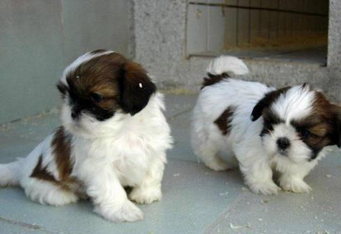 Two Cute Shih Tzu Puppies For Sale For Sale In Aberdeen Ohio