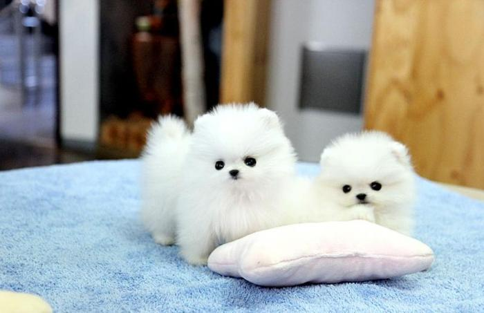 two cute teacup Pomeranian puppies available