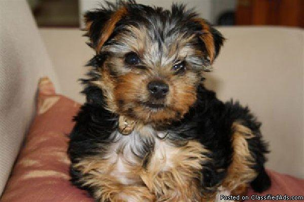 Two Cute teacup Yorkie Puppies for Adoption (508) 834-4790)