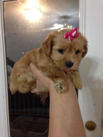 Two darling teacup toy yorkiepoo doll face puppies!!