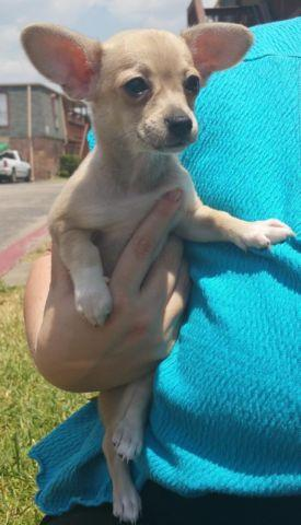 Two Female Chihuahuas available-14weeks
