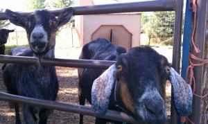 Two female goats for sale - $30 (Logan)