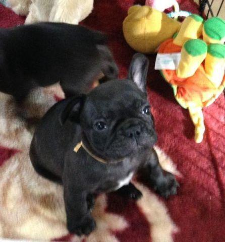 french bulldog puppies for sale in wisconsin two french bulldog puppies brindle male and blue female 3646