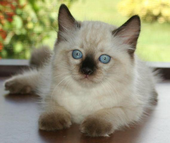 Two Genuine Ragdoll Kitten Kittens For Sale w/TICA
