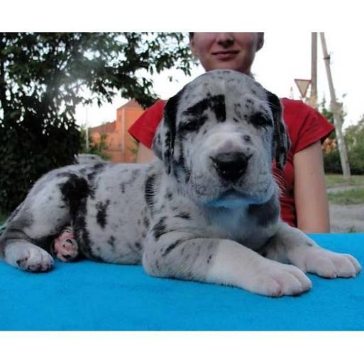 Blue Heeler Mix Puppies Pets And Animals For Sale In Charlotte