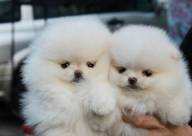pomeranian breeders in tn two great pomeranian puppies for sale in nashville 5661