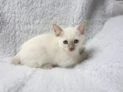 Lilac Point Siamese Kittens For Sale Two Lilac pt Siamese Kittens