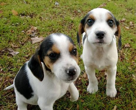 Pets And Animals For Sale In Long Valley New Jersey Puppy And