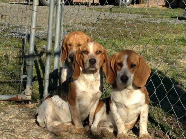 Two Male Hunting Beagles for Sale in Gold Hill, North