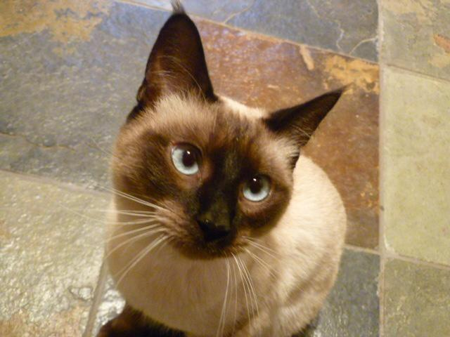 Old Siamese Cats For Sale