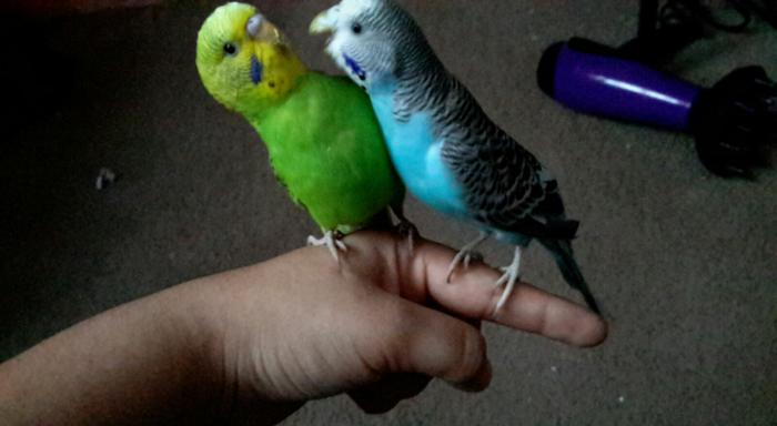 Two parakeets!!