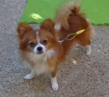 pomeranian papillon two pomeranian papillon mix young dogs for sale in 2257