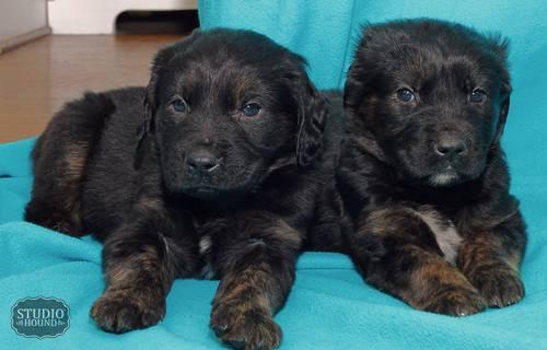 Lab Mix Dogs Pets And Animals For Sale In The Usa Puppy And Kitten