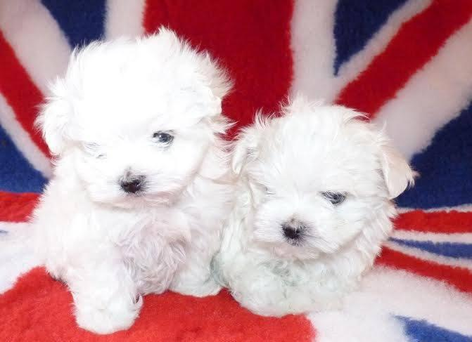 Two Teacup Maltese Puppies Needs a New Family for Sale in