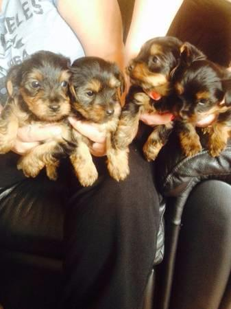 Two Teacup Yorkie Yorkshire Puppies For Sale In Atlanta Georgia