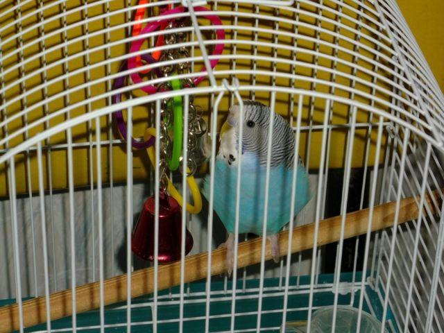 two young parakeet birds with cage $30.00