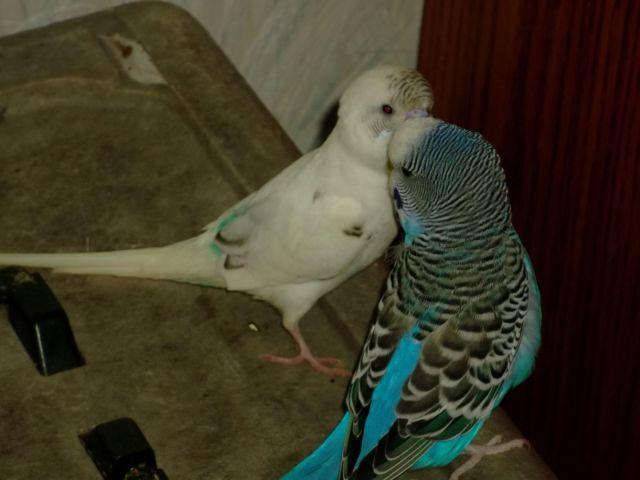 two young parakeet birds with cage