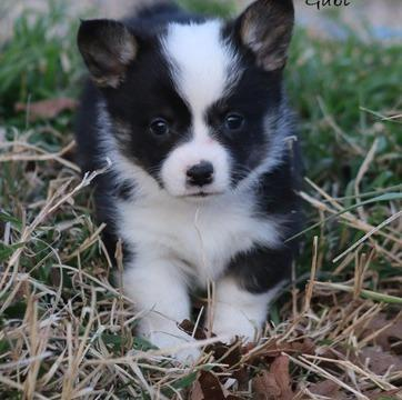 tyghsdhjhjsd Ready Pembroke Welsh Corgi puppies for