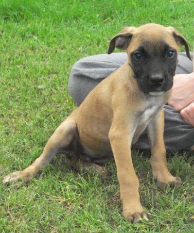 Uca American Bandogge Mastiff Pups 10 Weeks Old
