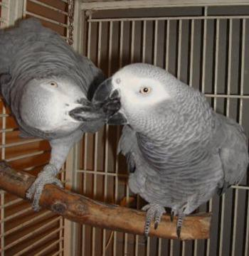 ujhbgvfc WORMING AND LOVABLE AFRICAN GREY PARROTS FOR