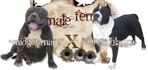 UKC & ABKC Excellent Quality American Bully Puppies