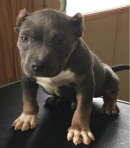 Ukc/Abkc Pocket Blue Tri Male Puppy