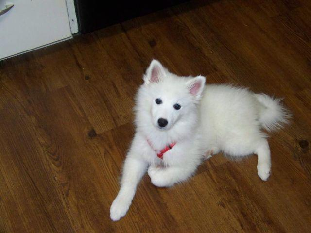 UKC American Eskimo Puppies are here in time for