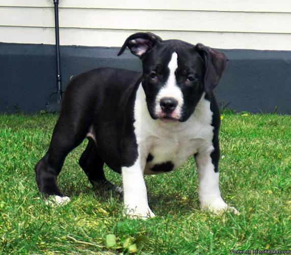 UKC American Pitbull Terrier (Bully for sale in Waterloo, Iowa