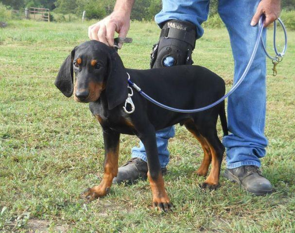 Champion Coon Dogs For Sale