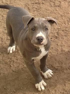 Ukc Blue Nose Pitbull Puppy For Sale In Reno Nevada Classified Americanlisted Com