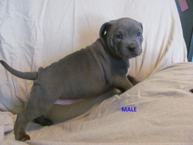 UKC Blue Pitbull Puppies