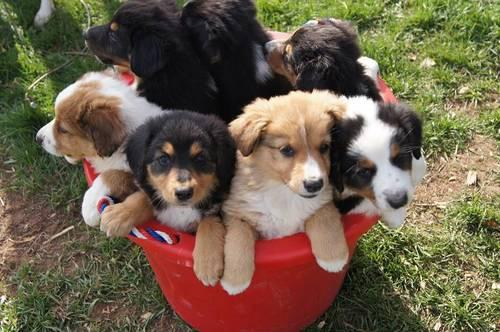 English Shepherd For Sale In Michigan Classifieds Buy And Sell In