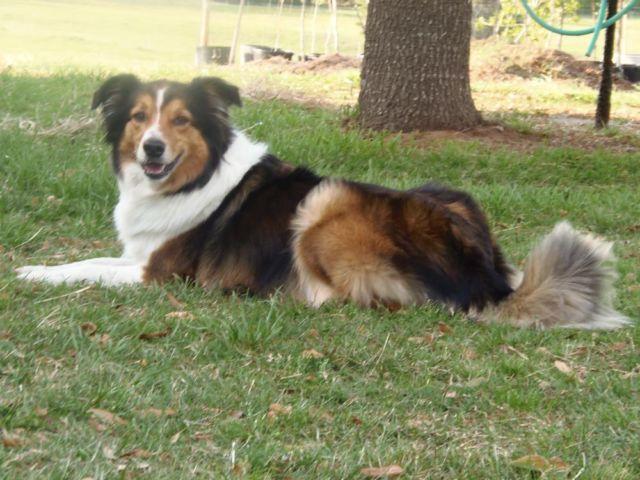 Ukcesc English Shepherdfarm Collie Puppies For Sale In Bellview