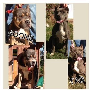 UKC Pitbull Puppies ForSale $500 obo