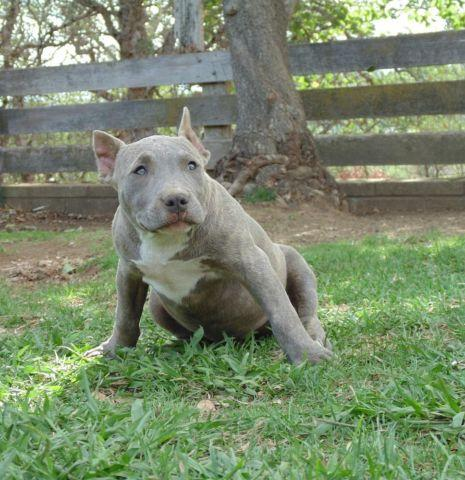 Ukc Bully Pitbull Puppies Ears Cropped In Van Nuys California For ...